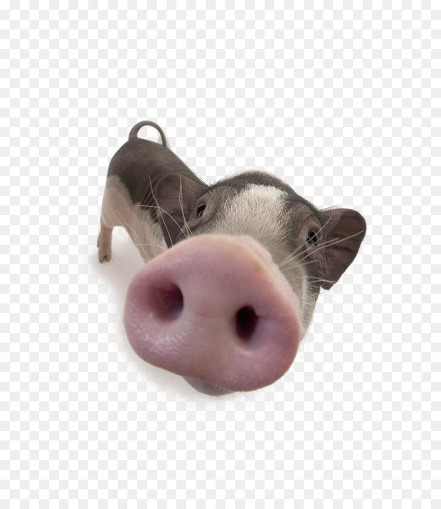 Нос свиньи картинка для детей