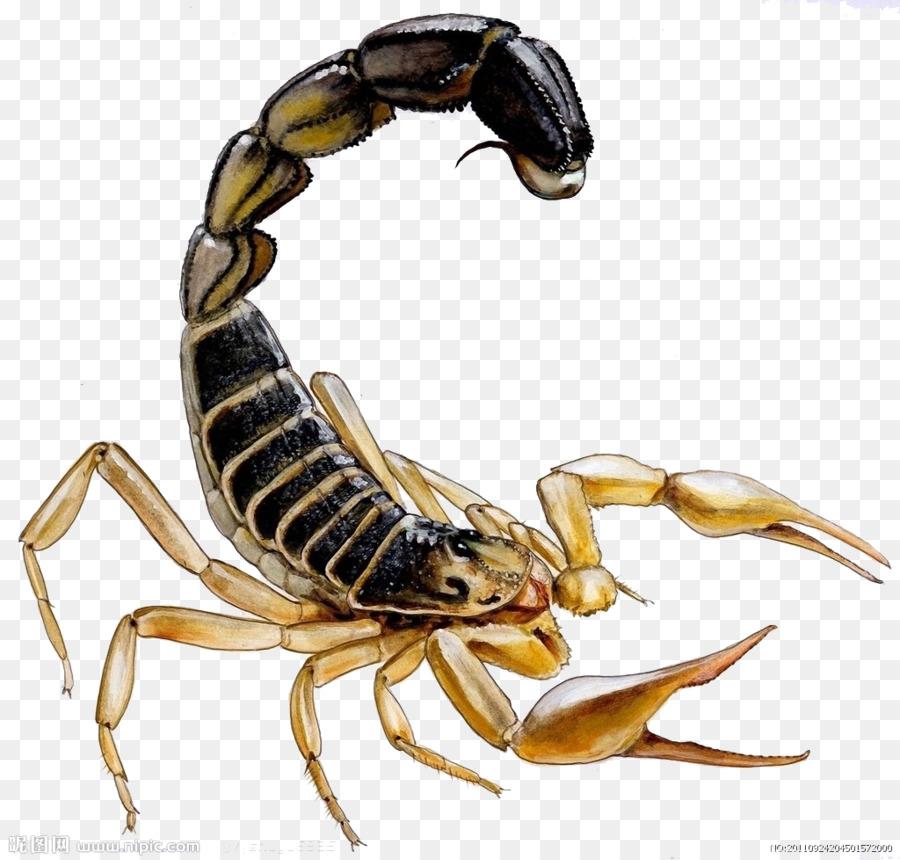Насекомое скорпион в картинках