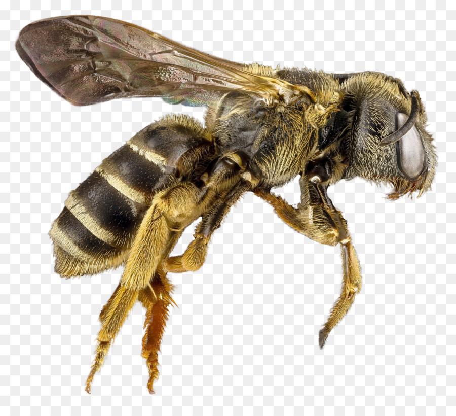 также пчела в пнг на прозрачном фоне покажут