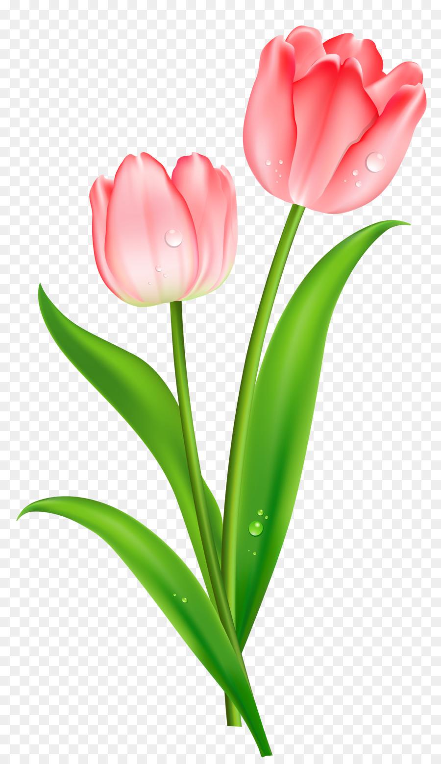 Картинка тюльпаны на белом фоне для детей