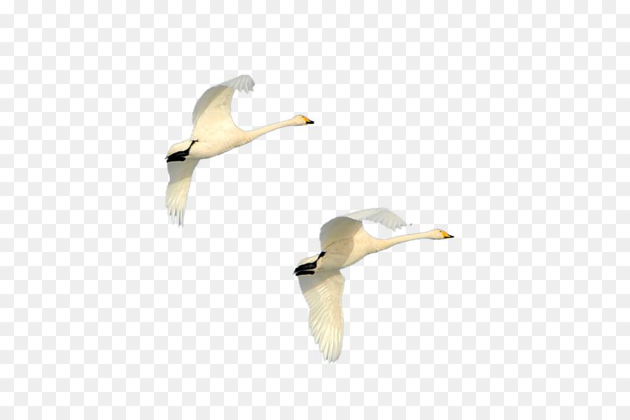 квартирных гиф летящие лебеди на прозрачном фоне восьми