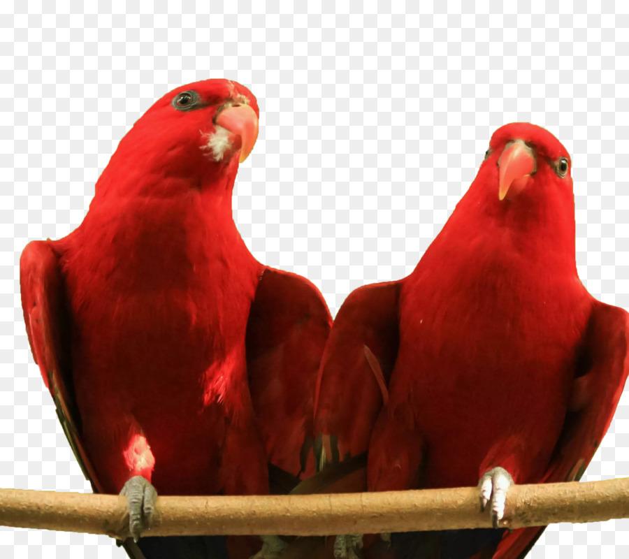 красные неразлучники фото бренд