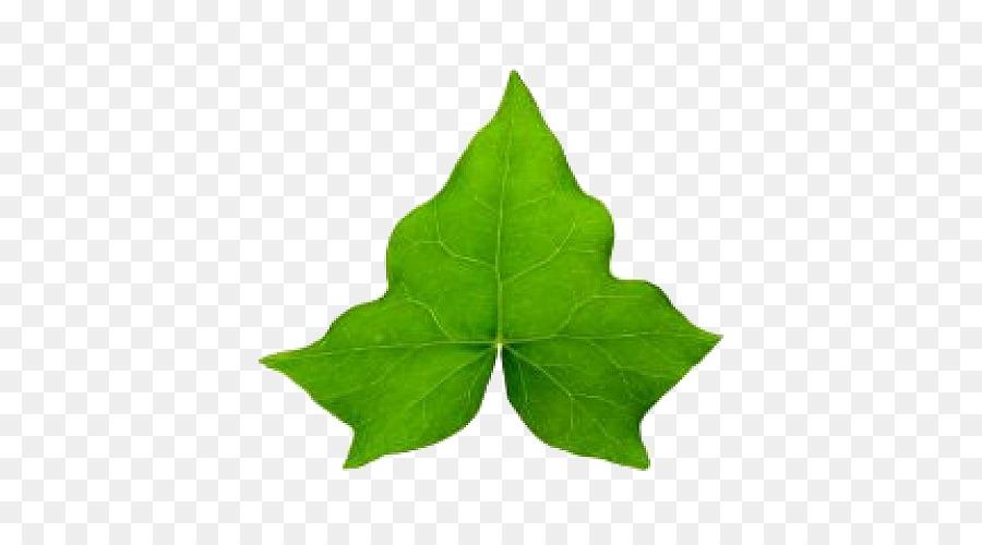 Картинки листьев плюща