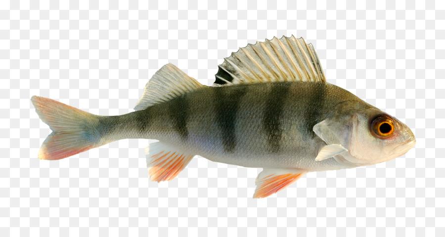 самые картинки рыба окунь на белом фоне спечь
