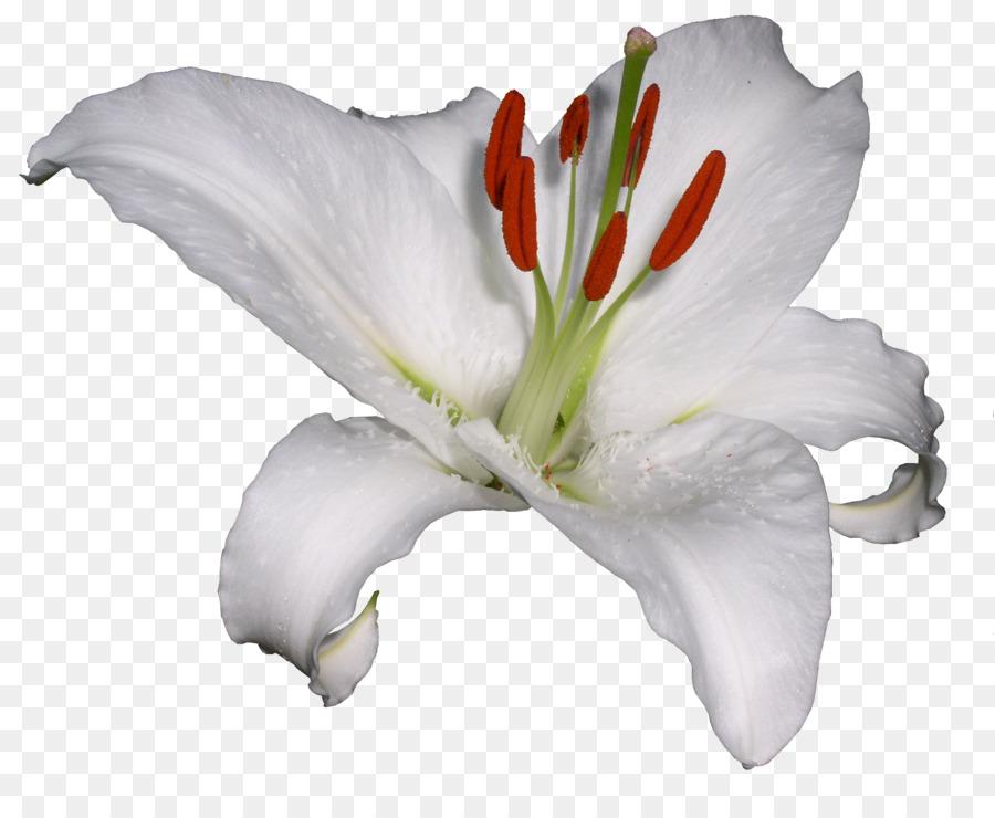 Цветы белые картинки для фотошопа, открытки приколами