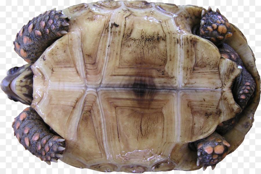 тушения панцирь черепахи картинки можно сколько угодно