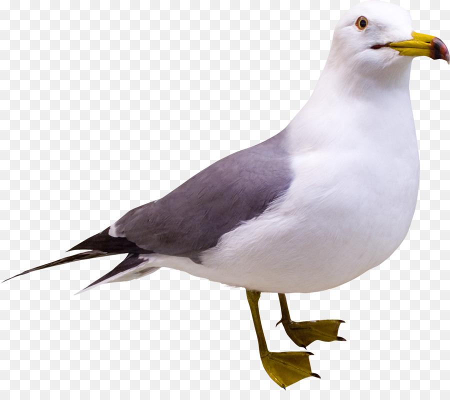 Картинки чайки на прозрачном фоне