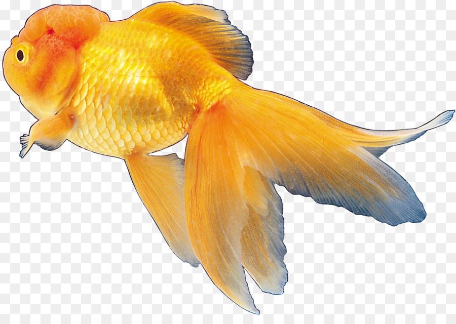 Картинки золотая рыбка на прозрачном фоне, прикольные мультика моряк