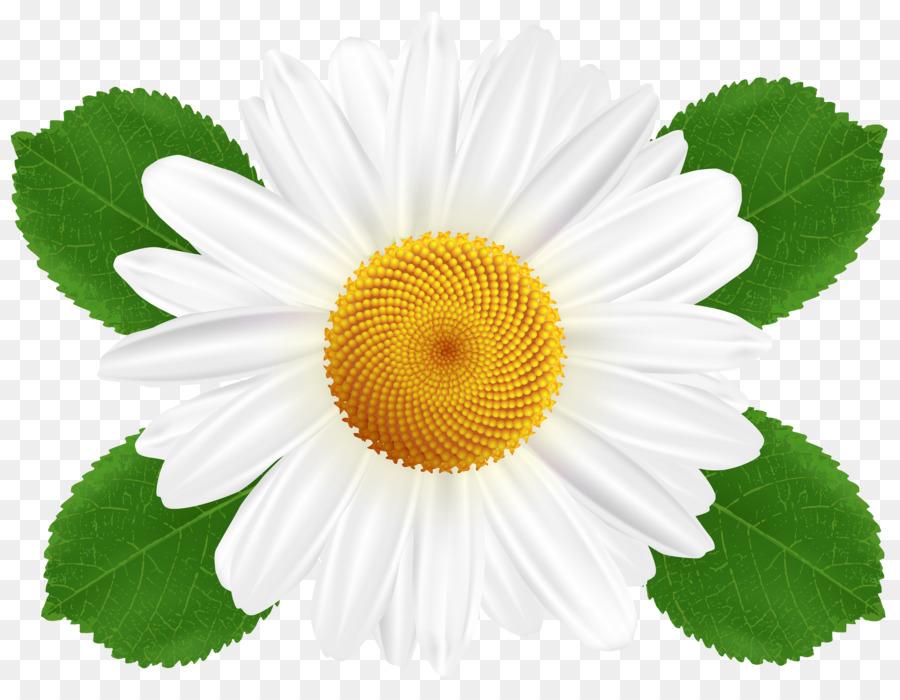 Картинки ромашки цветы на белом фоне