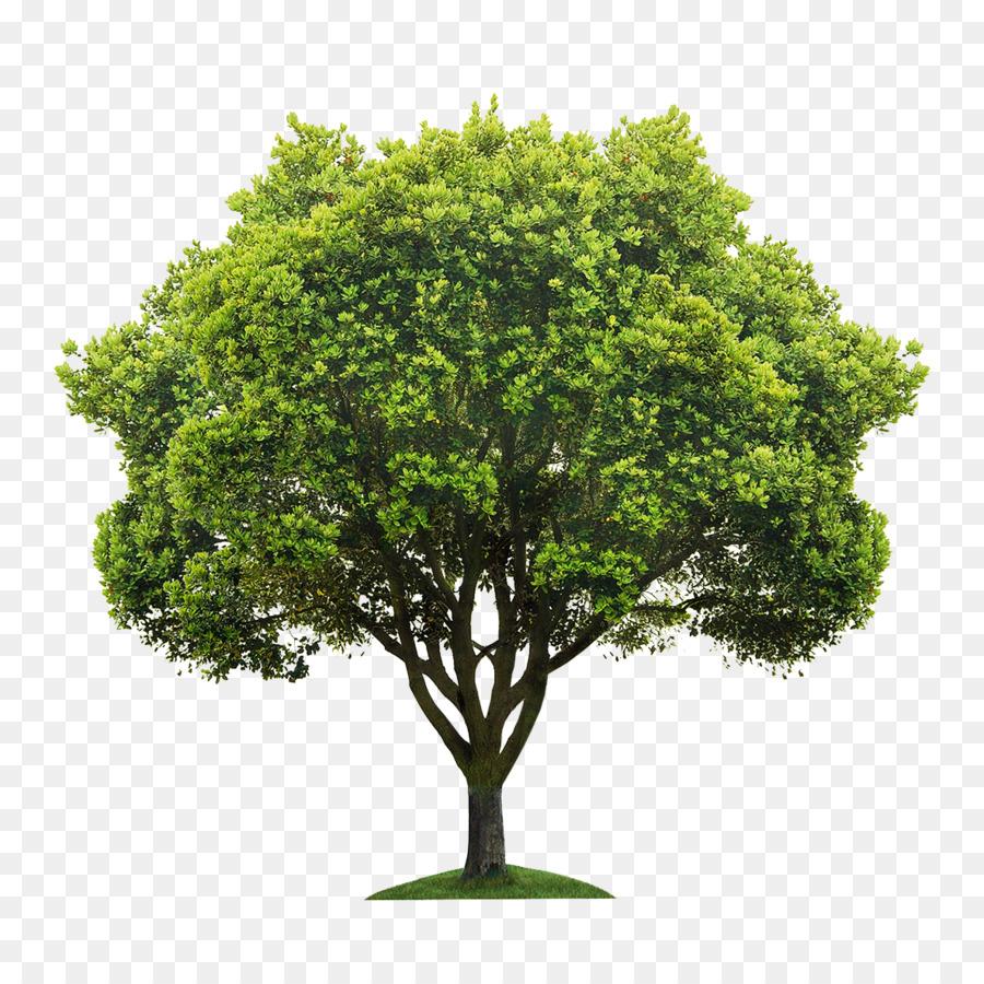 раскидистое дерево картинки без фона или иначе