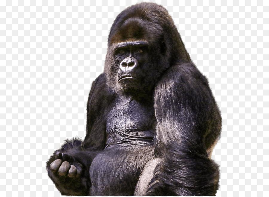 картинка гориллы на белом фоне один человек