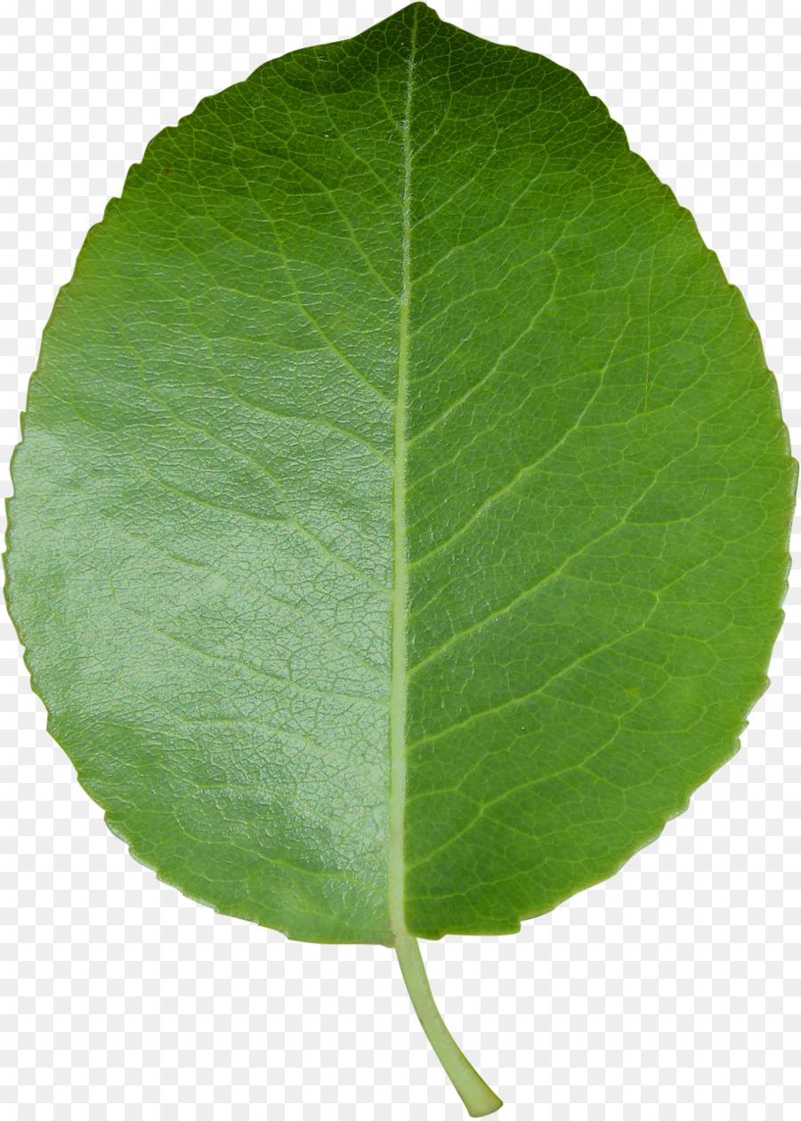 получить листья яблони картинки интернете