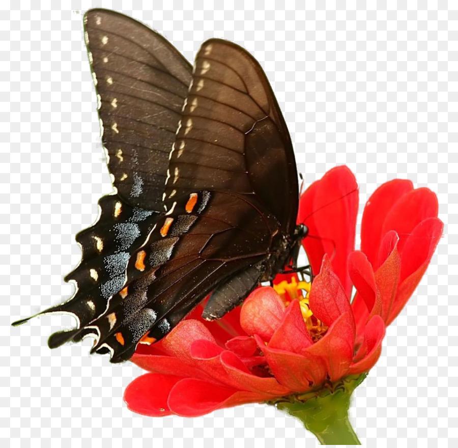 Бабочка фото картинки на прозрачном фоне