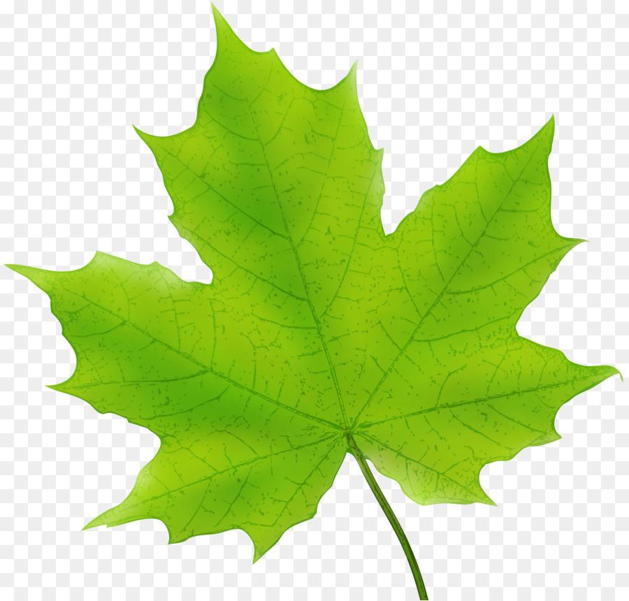 Картинки листья клена на прозрачном фоне