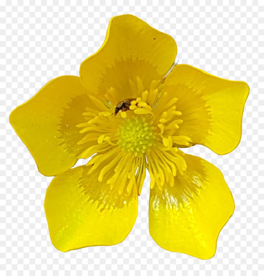 цветок лютик картинка на прозрачном фоне