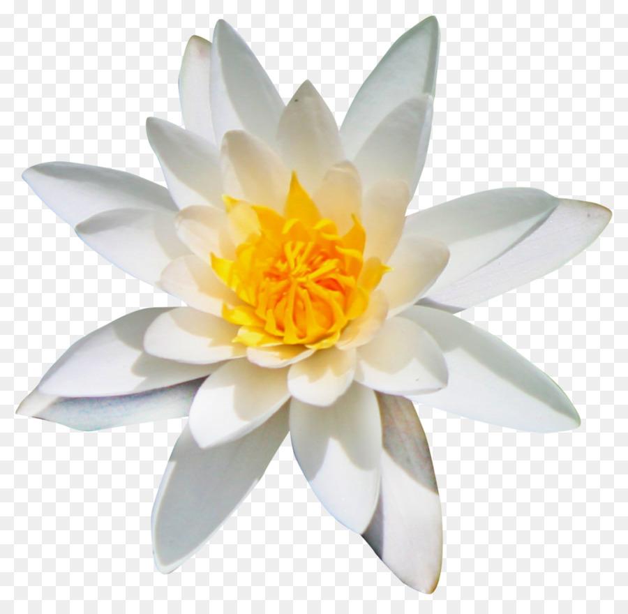 цветок эдельвейс картинки на прозрачном фоне волокнистый сустав связывает