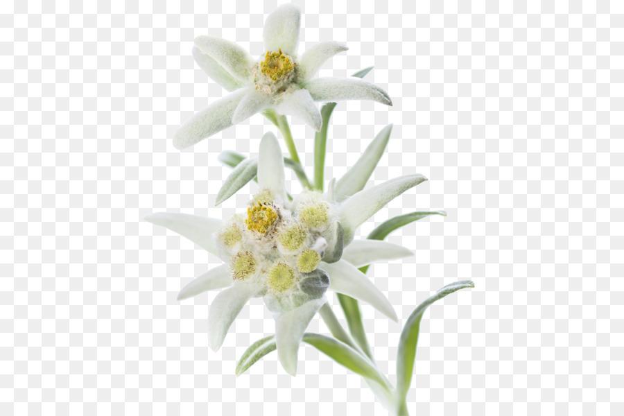 свадьбы цветок эдельвейс картинки на прозрачном фоне родителей
