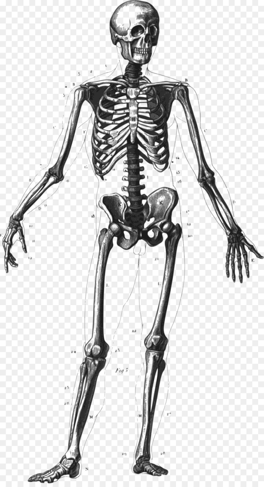 Картинка скелет человека без подписей, сделать