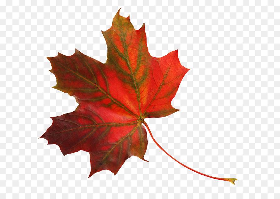 Осенние кленовые листочки картинки на прозрачном фоне