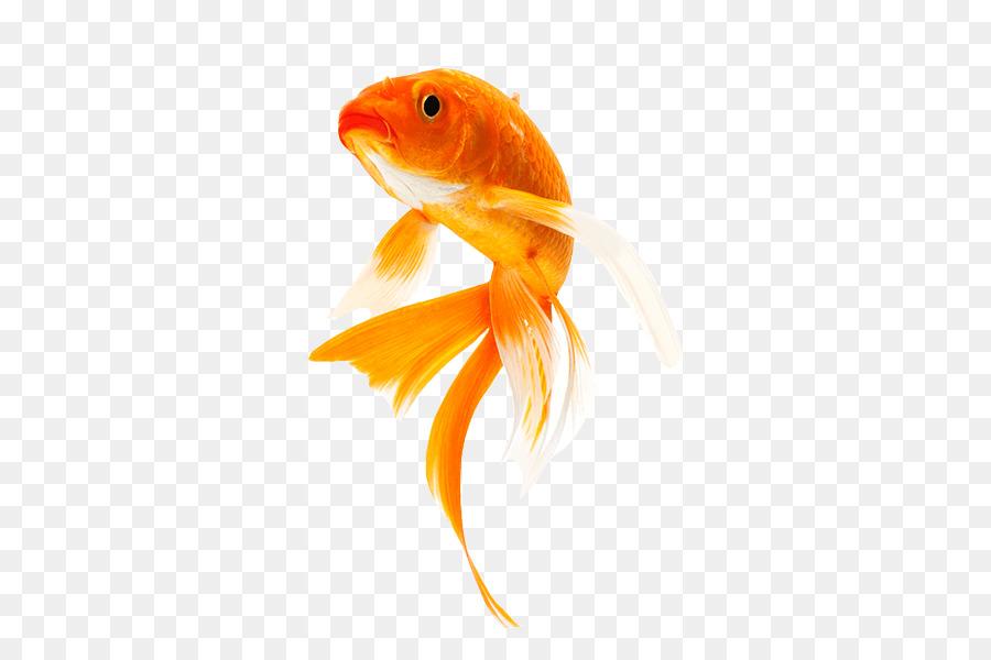 Золотая рыбка картинки для презентации