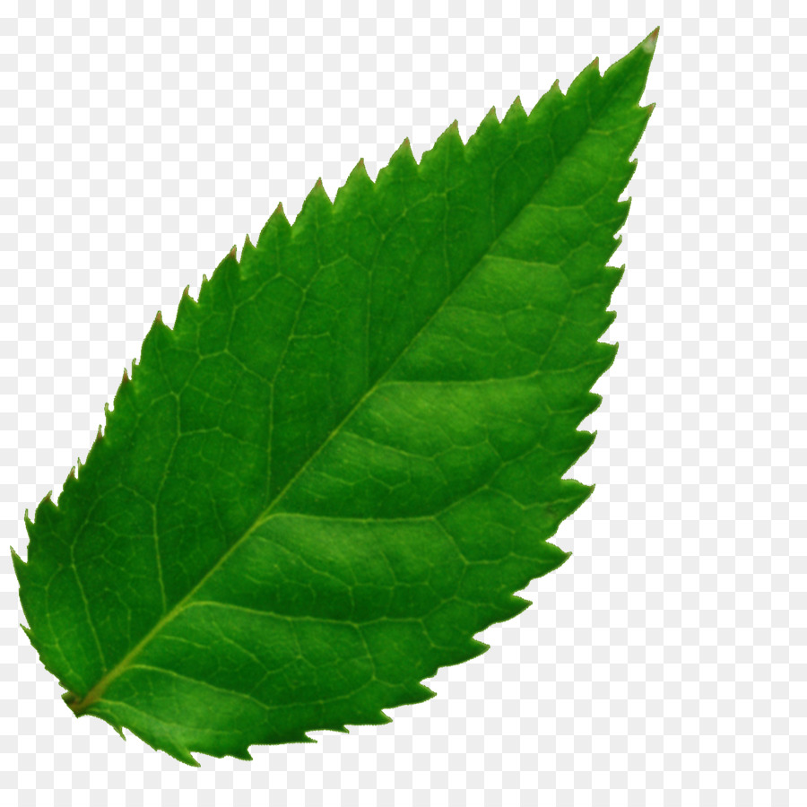 Картинки зеленого листа на прозрачном фоне