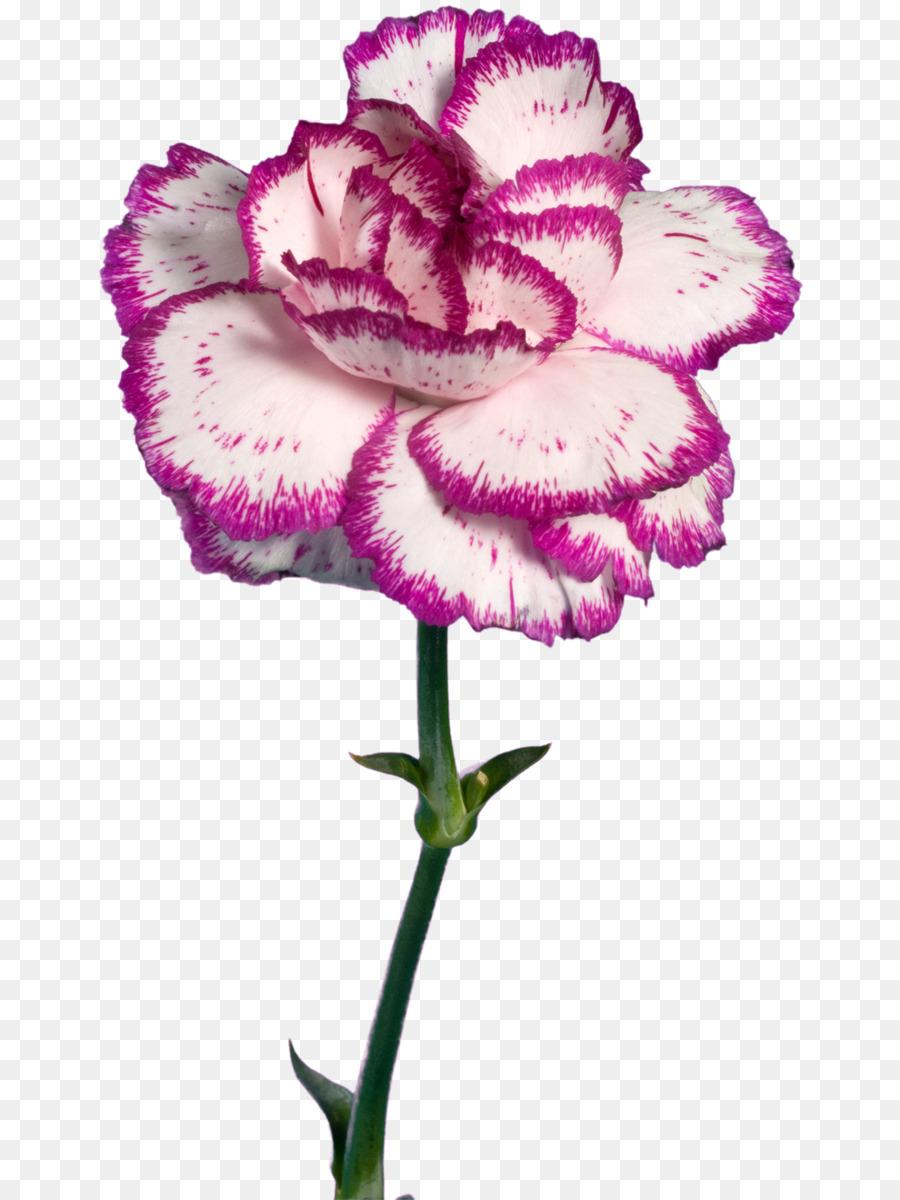 этих картинки цветов гвоздика на белом фоне рекомендованы производителями