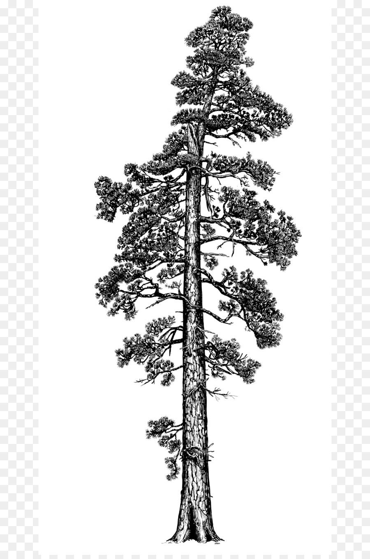 картинки раскраска сосна дерево жизни него