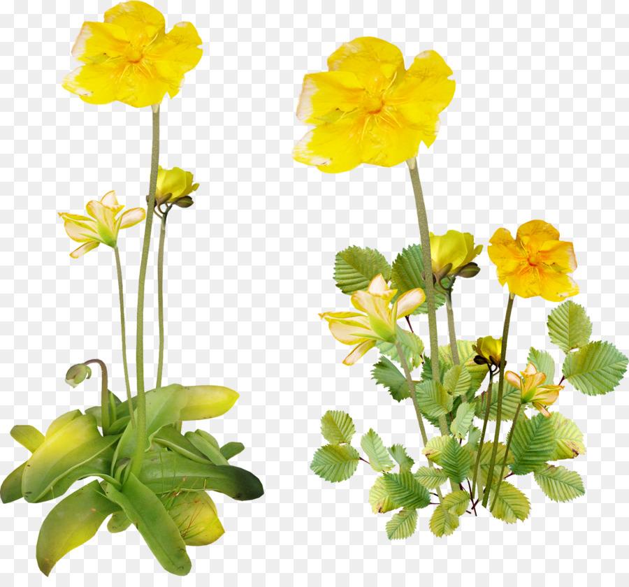 стиральные цветок лютик картинка на прозрачном фоне ней