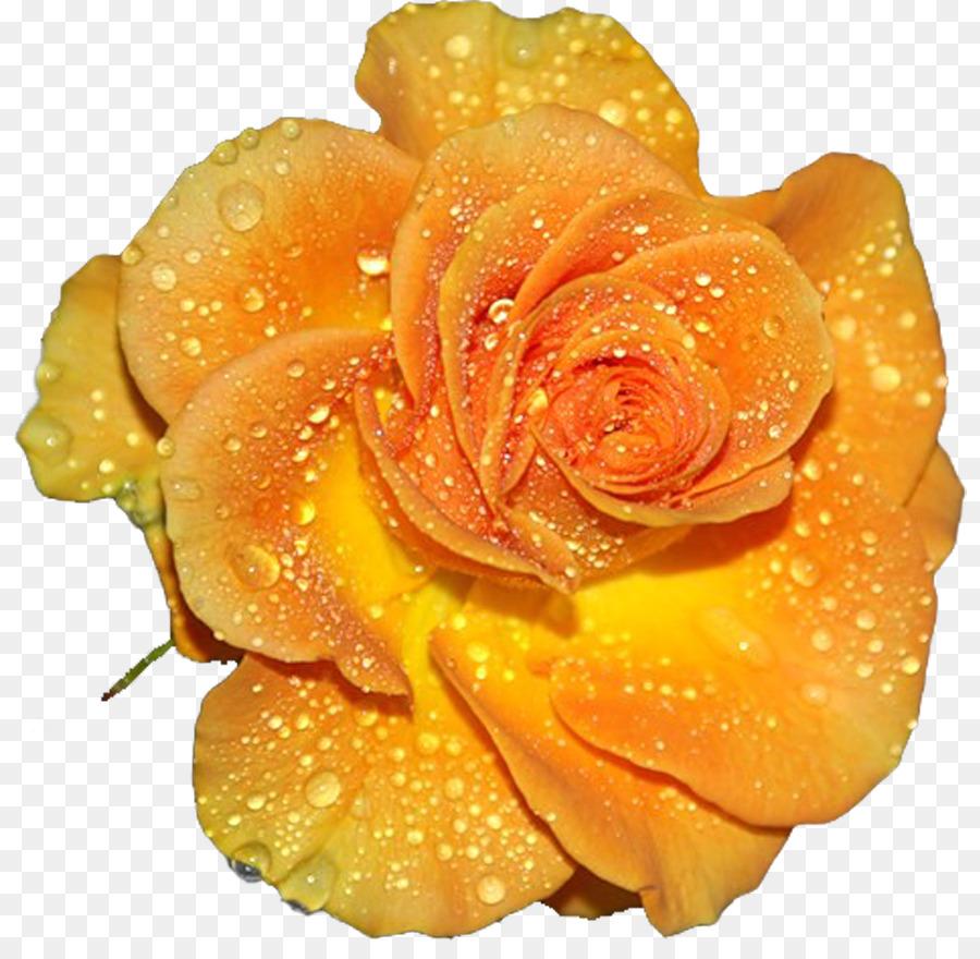 Картинки желтых роз на прозрачном фоне для фотошопа