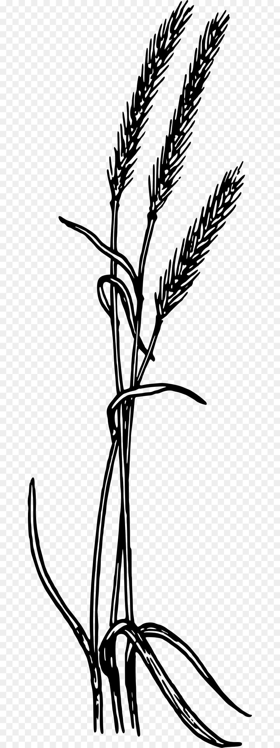 Пшеница картинки нарисованные