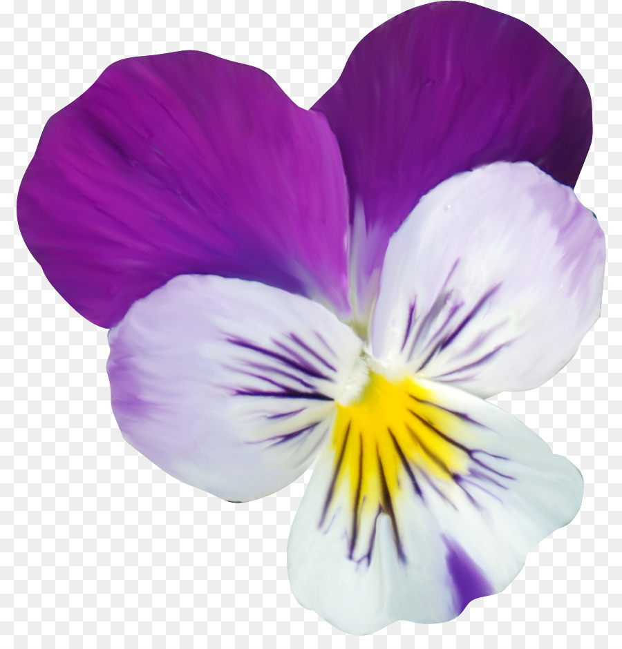 Картинка анютины глазки цветок на белом фоне