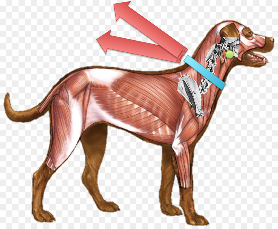 Анатомия собаки в картинках