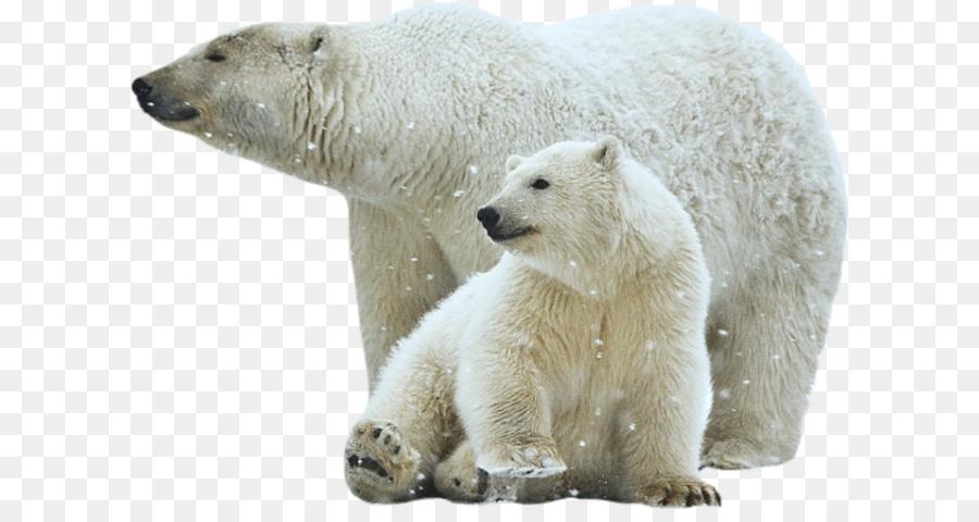Белый медведь картинки на прозрачном фоне, которые можно