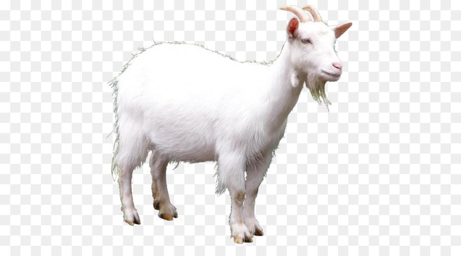 домашние животные коза и овца картинки женой молодости