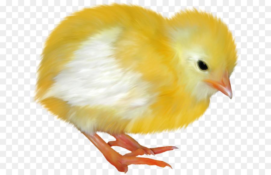 Цыпленок картинки для детей, папы