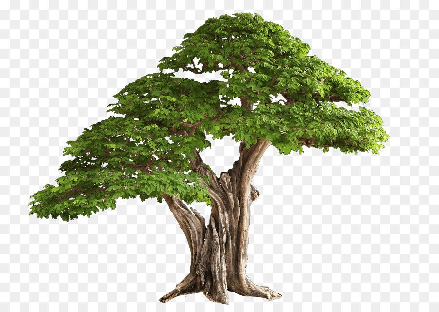 Картинка дерева дуб на прозрачном фоне