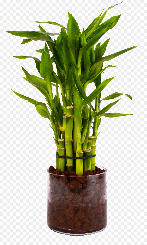 Бамбук в горшке картинка