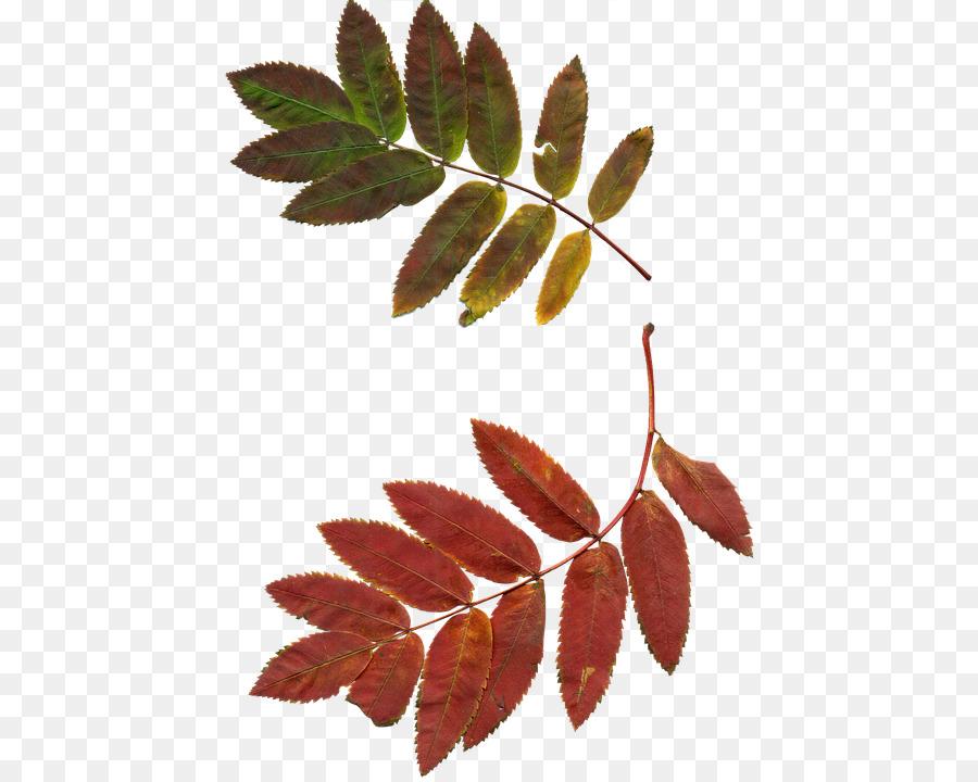 листья рябины в картинках фотографий мало, оно