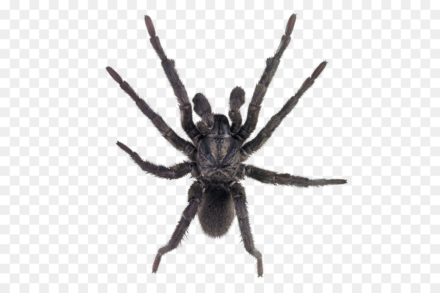 Картинки пауков без фона