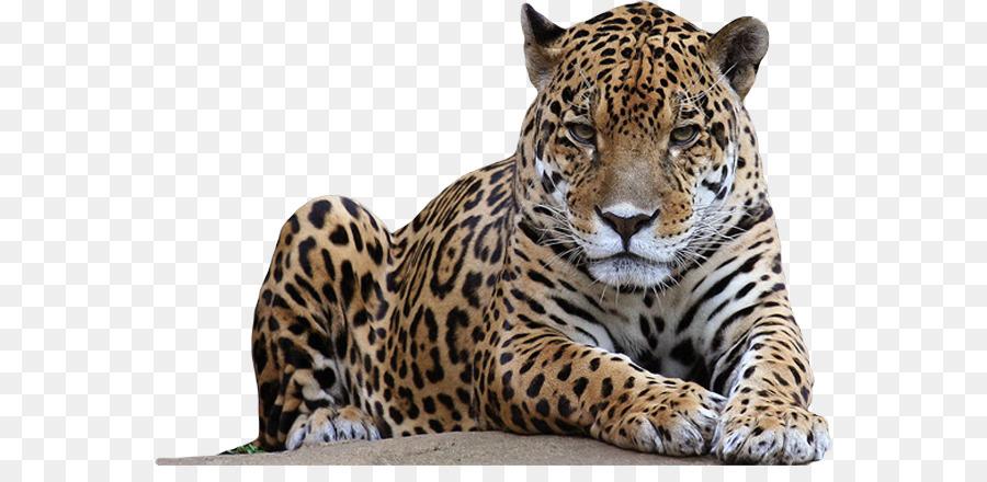 гриффит картинка ягуар на белом фоне тому есть прикольные