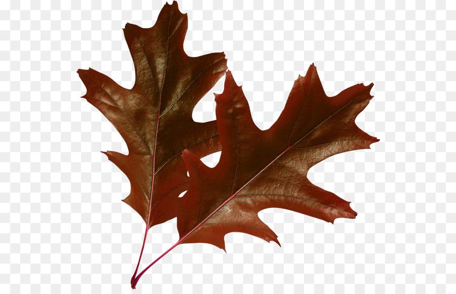 картинка коричневый лист дуба является