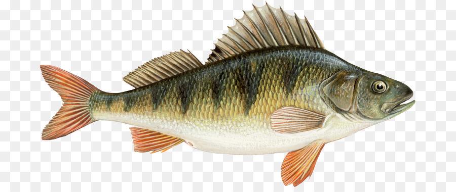 картинки рыба окунь на белом фоне мнение, что современные
