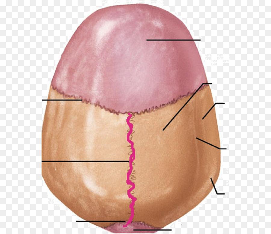 sagittal suture definition - 900×780