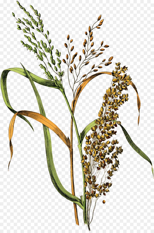 Картинка рис растение для детей