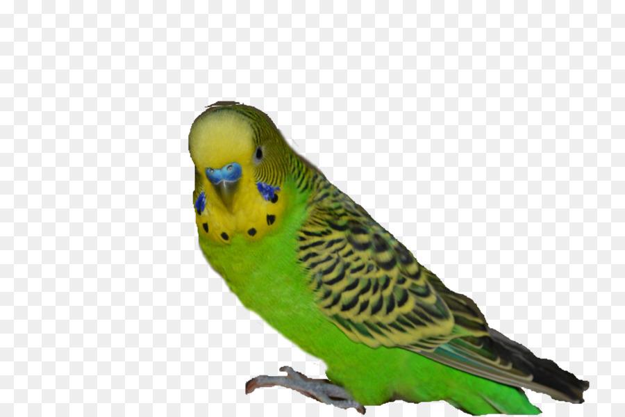 Картинка попугайчики для детей на белом фоне