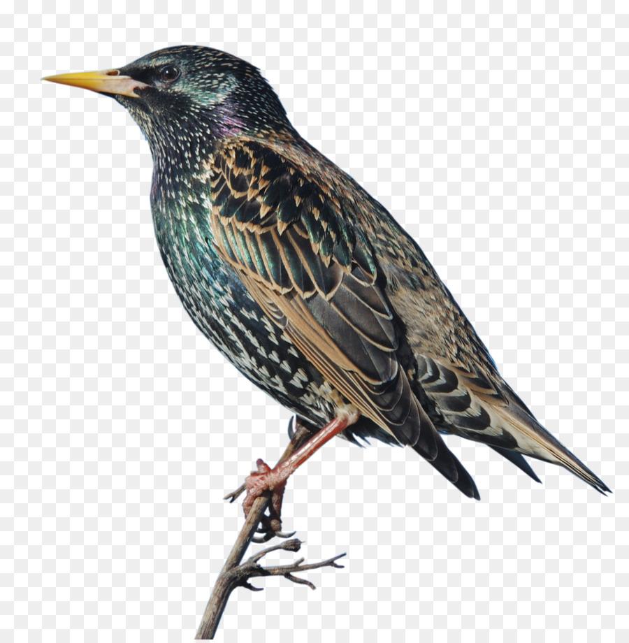 Картинки птиц скворец на прозрачном фоне