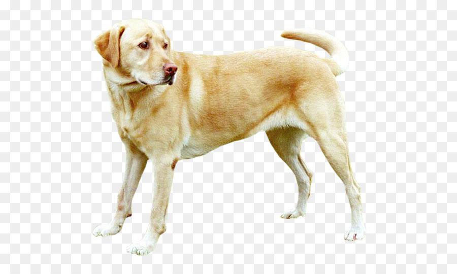 документы собака лабрадор анимация подходит