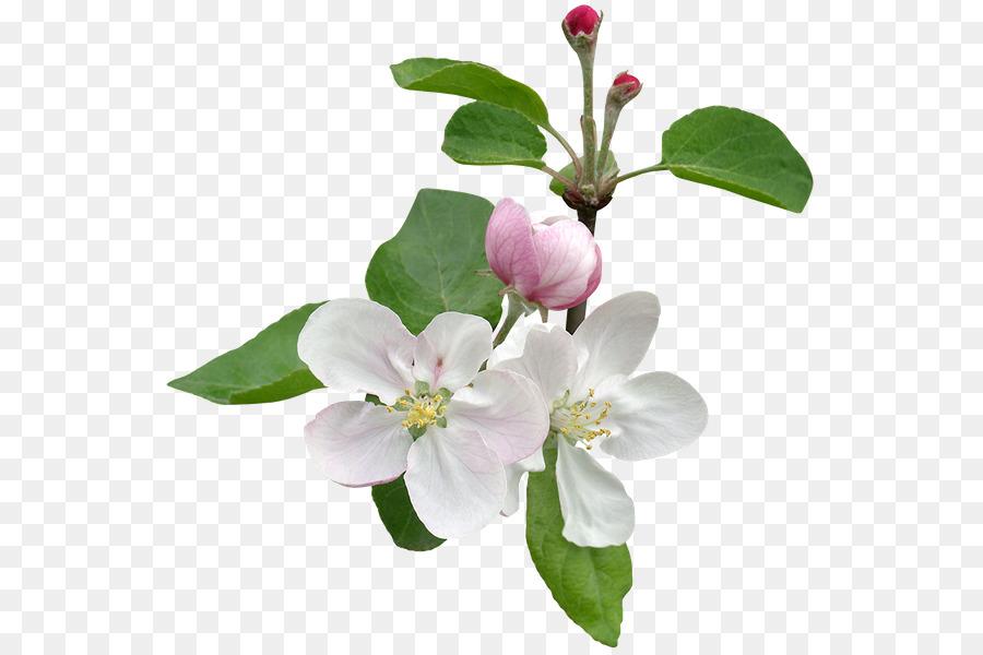 Ветка яблони с цветами картинки