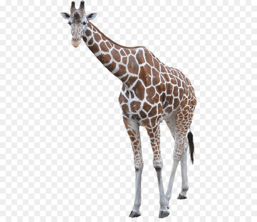 Картинка жирафа на белом фоне, смешные лучшие