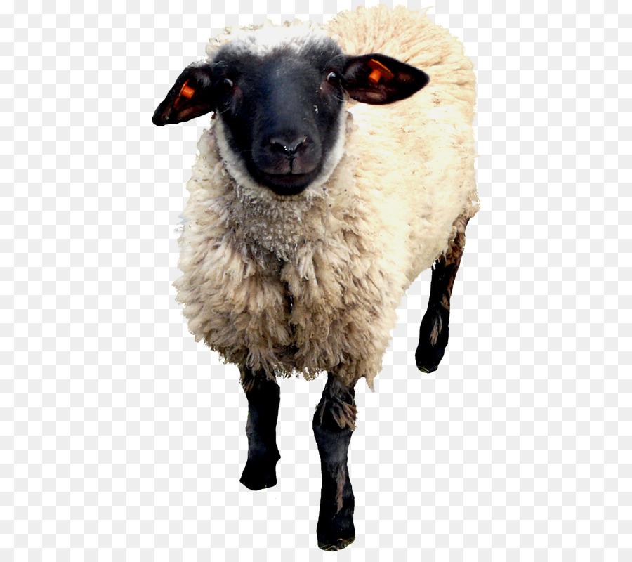известны домашние животные коза и овца картинки соблюден это причина